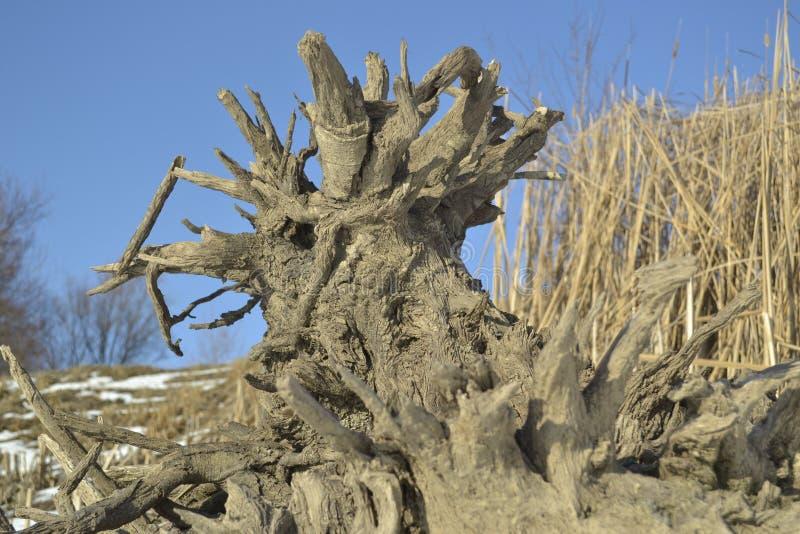 Racines d'arbre de tronçon photo libre de droits