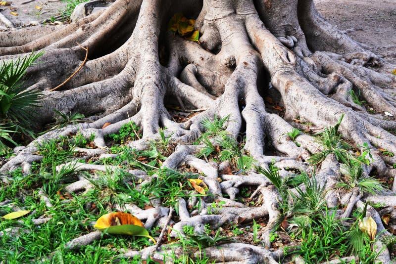 Racines d'arbre en caoutchouc photo stock