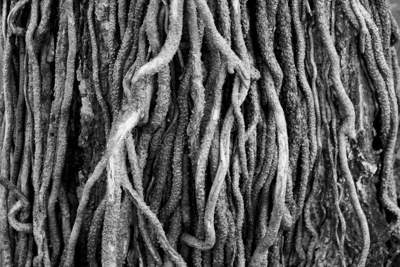 Racines d'arbre en plan rapproché de b&w image stock