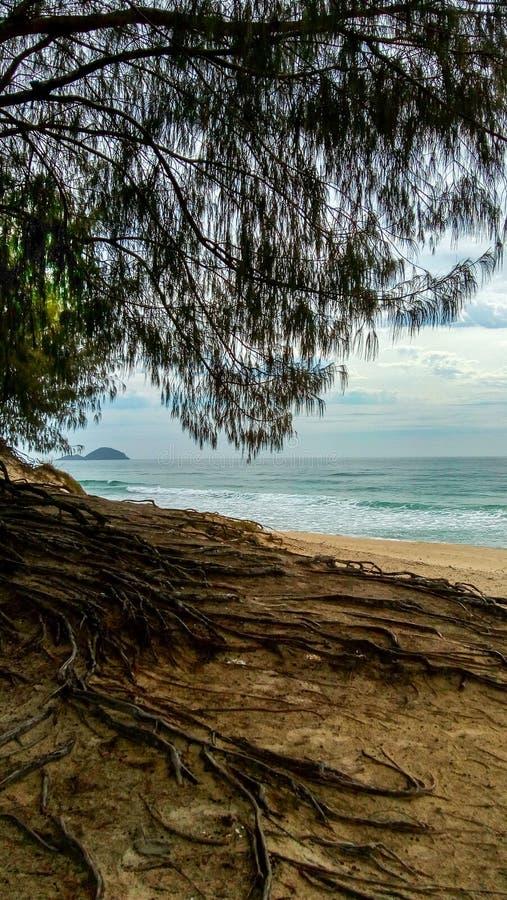 Racines d'un arbre au-dessus du sable d'une plage photos libres de droits