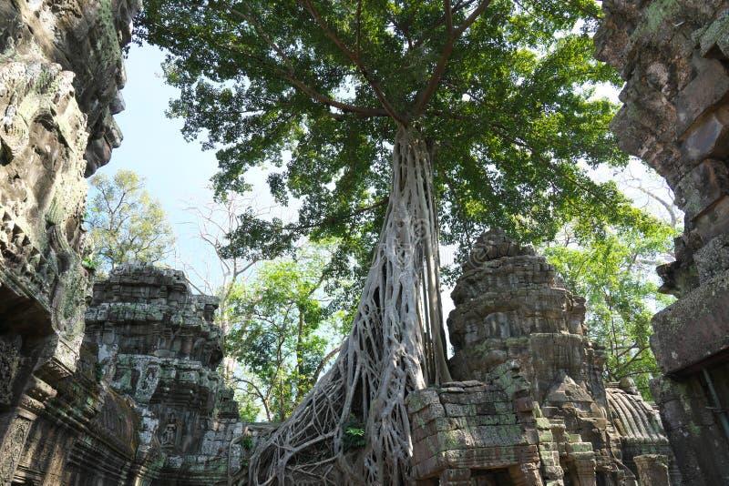 Racines d'un spung ou d'un Tetrameles fonctionnant le long de la galerie dans le temple de Phrom de ventres dans Siem Reap, Camb photo libre de droits