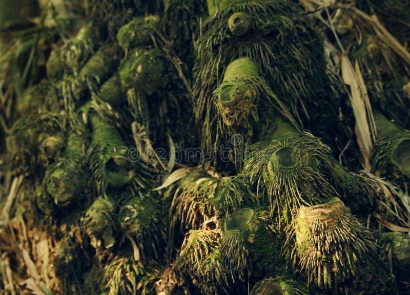 Racines de bambou photos libres de droits