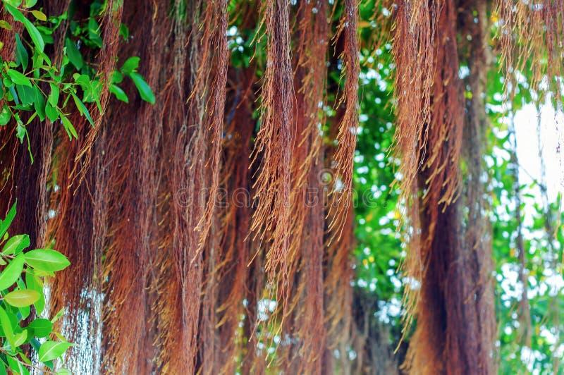 Racines de banian photo stock