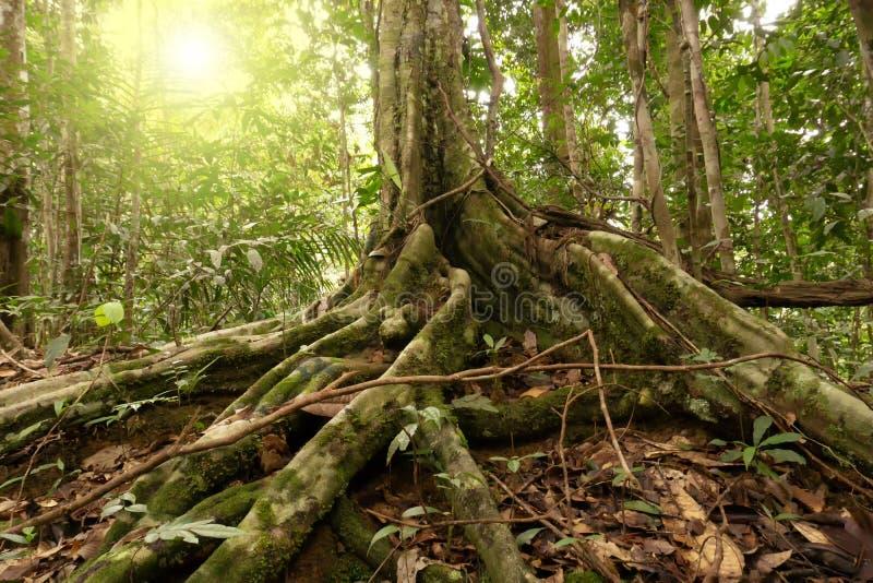 Racines de contrefort à la région de conservation de bassin de Maliau photos libres de droits