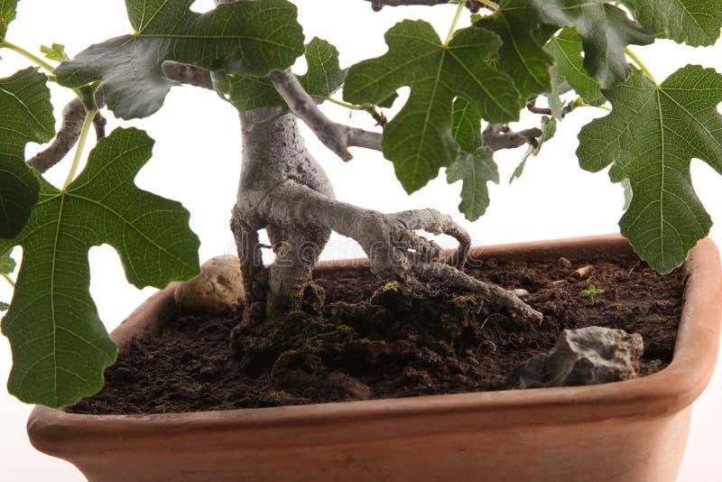 Racines de figuier de bonsaïs image stock