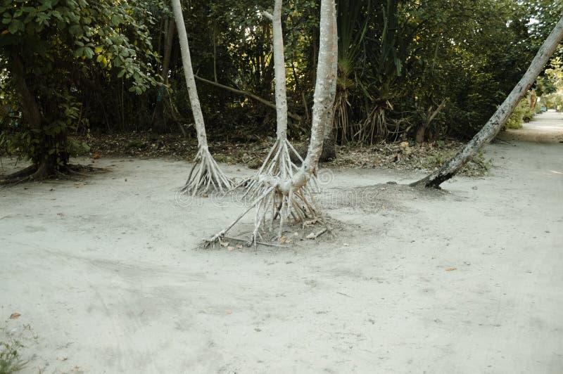 Racines de paume sur le sable image stock
