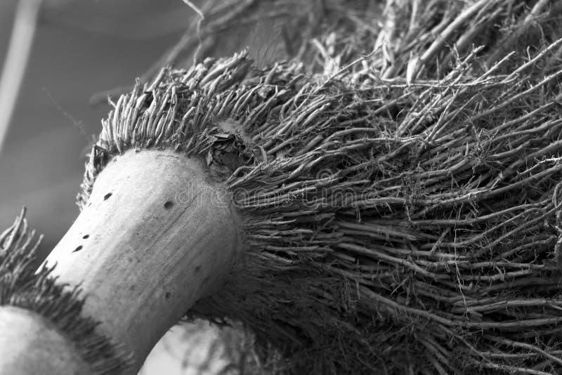 Racines en bambou photographie stock