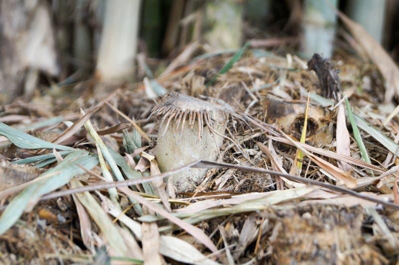 Racines et coupe en bambou sèches photographie stock libre de droits