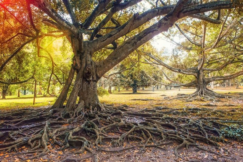 Racines extraordinaires des arbres dans Sri Lanka images libres de droits