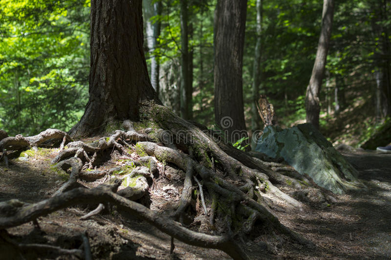 Racines fortes dans la forêt photographie stock libre de droits