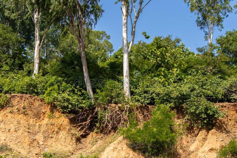 Racines ouvertes d'arbres dues aux éboulements, érosion du sol, après coupe de route photos stock