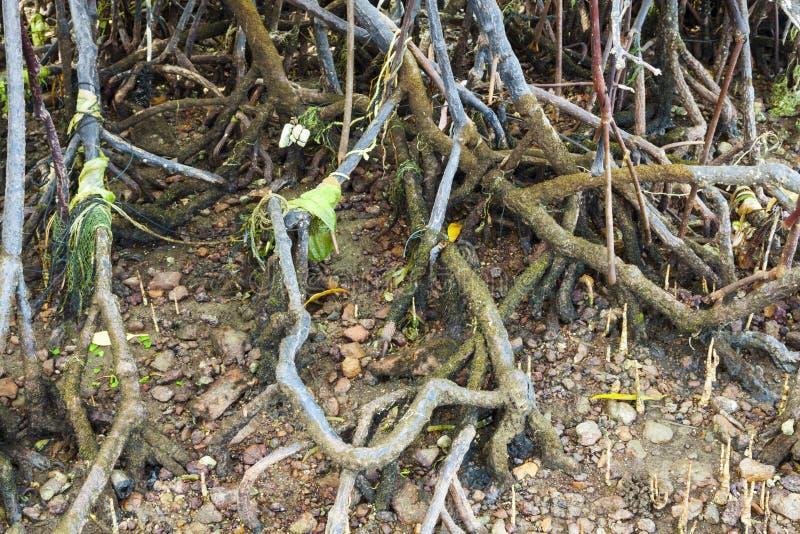Racines polluées d'arbre de palétuvier image libre de droits