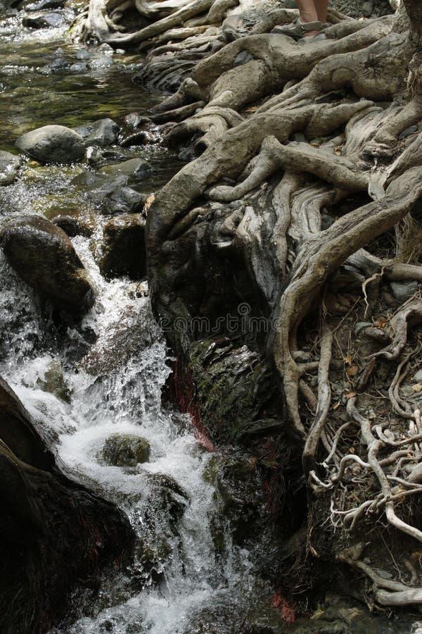 Racines puissantes des arbres image stock
