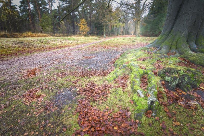 Racines roAncient antiques d'un vieux hêtre avec des couples marchant dans les fots chauds d'automne d'un vieux hêtre avec des co image libre de droits