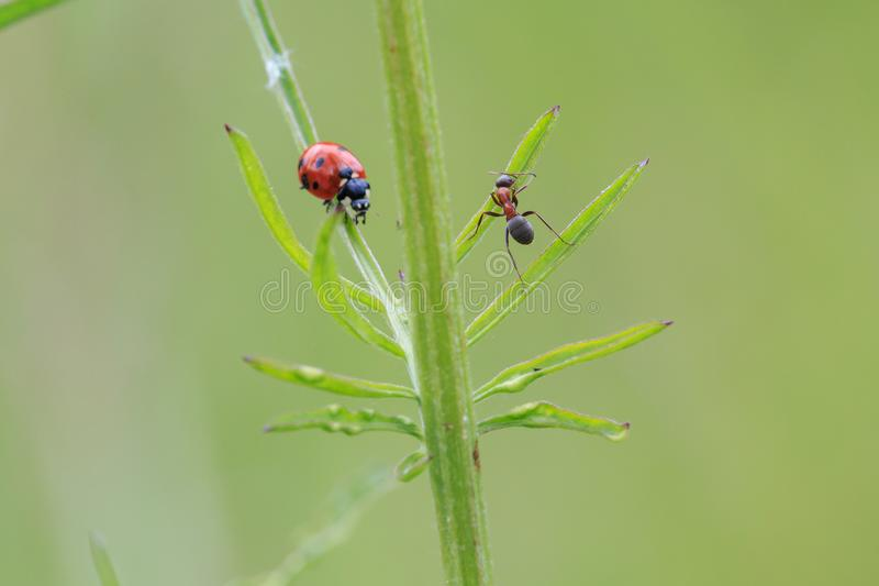 Racing insects – ant chase a ladybug on the green grass royalty free stock photos
