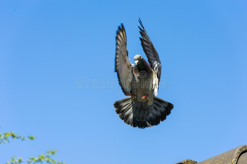 Landing of racing pigeon with wings and tail braking the speed royalty free stock photo