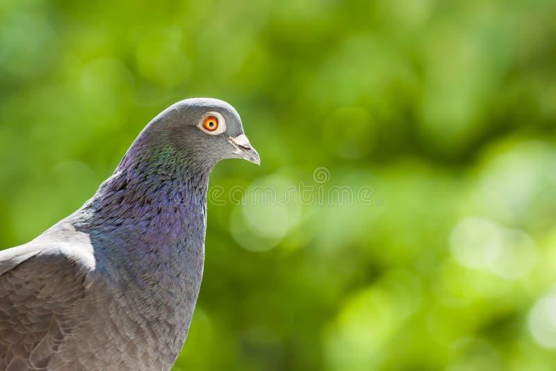 Racing pigeon portrait royalty free stock photos
