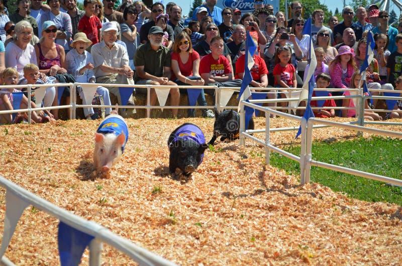 Racing pigs royalty free stock image