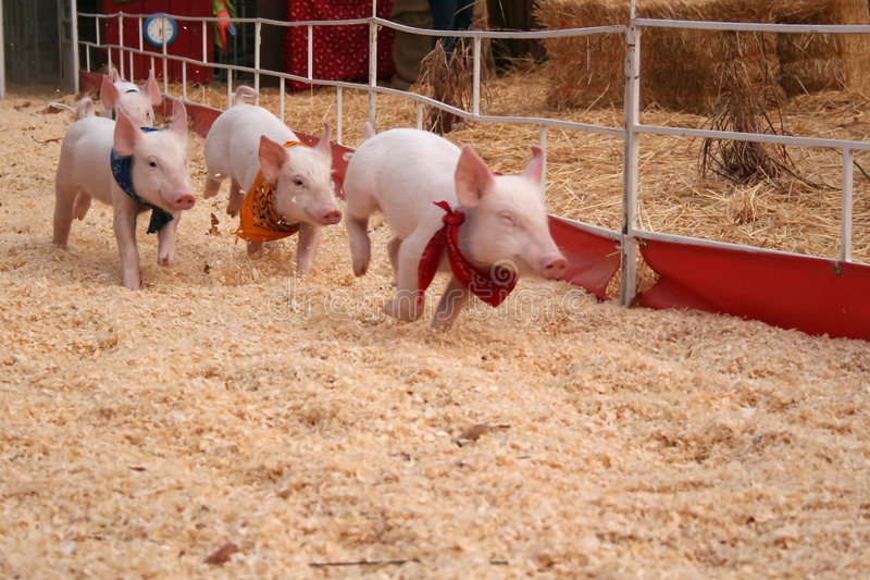 Racing pigs royalty free stock images
