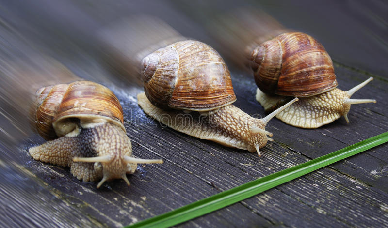Racing snails stock photography