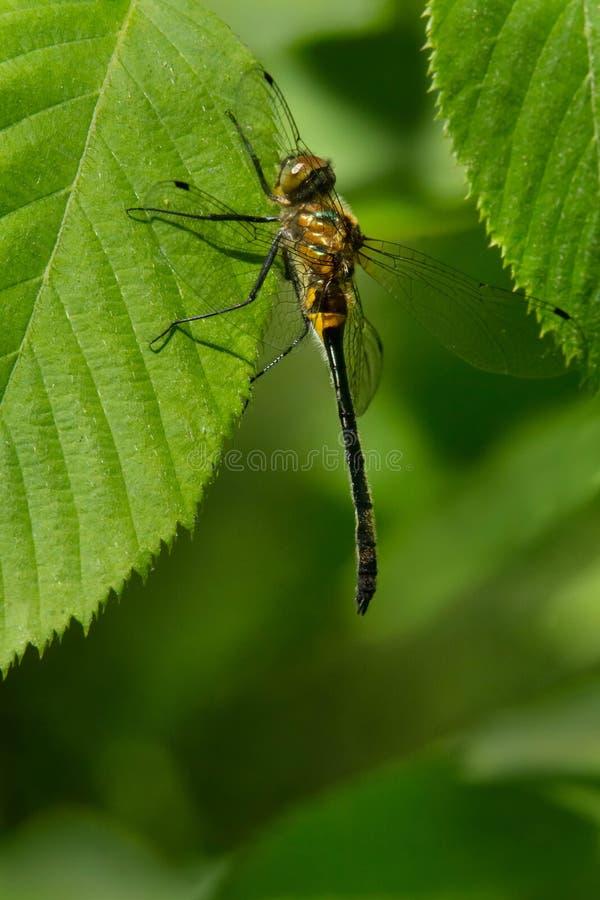 Racket-tailed Emerald Dragonfly - Dorocordulia libera royalty free stock photo