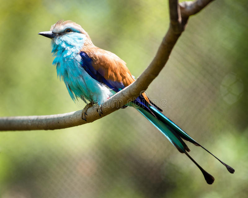 Racket-tailed Roller (Coracias spatulatus) perched. On branch royalty free stock photo