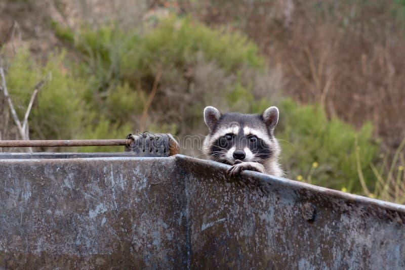 Racoon σε ένα dumpster στοκ εικόνες