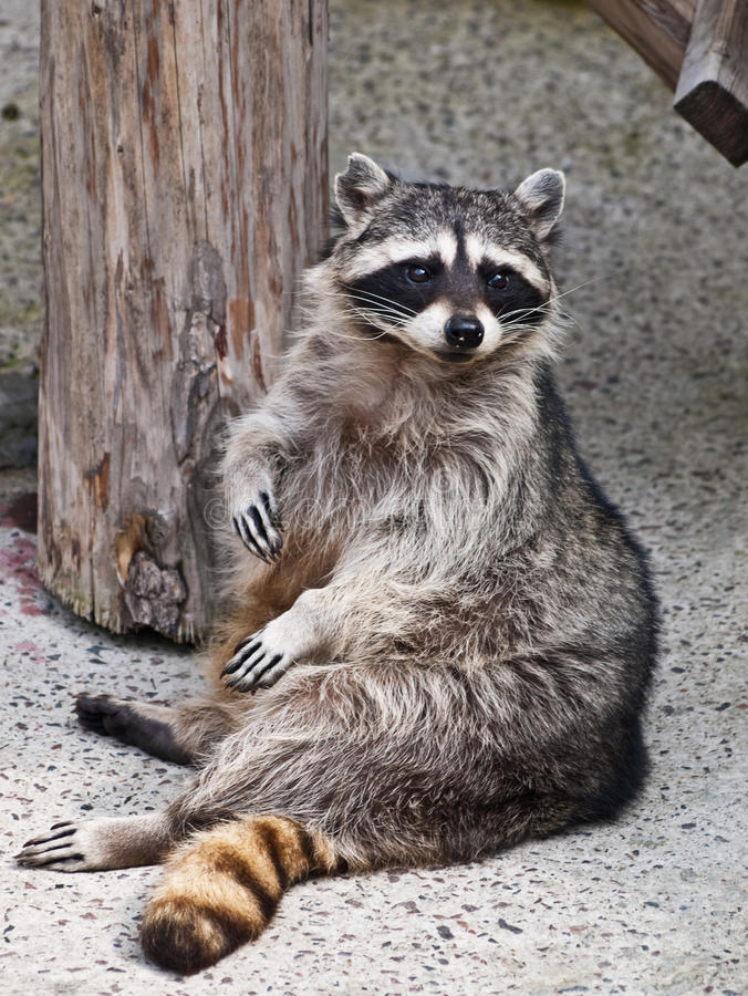 racoon στοκ φωτογραφία με δικαίωμα ελεύθερης χρήσης