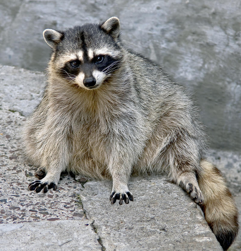 Free Racoon 12 Stock Images - 11740364