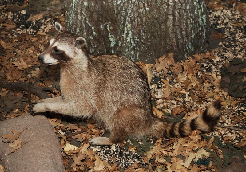 Racoon royalty free stock photos