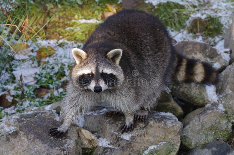 Racoon image stock