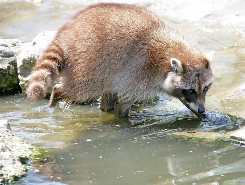 Download Racoon 3 stock photo. Image of catch, drink, tail, prey - 2356386