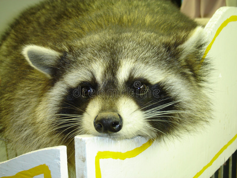 Download Racoon stock image. Image of relax, animal, cute, raccoon - 330049