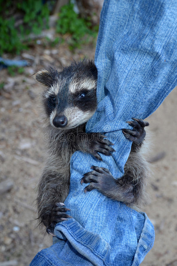 A racoon - baby hangs on jeans, looks forwards. A small racoon - baby hangs on jeans and looks forwards stock photos