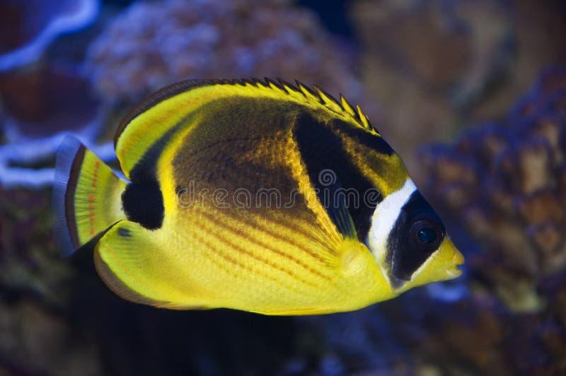 Racoon Butterflyfish lizenzfreie stockbilder