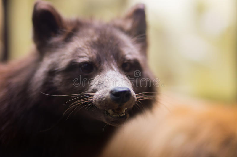 Racoon. In a Chicago Field Museum royalty free stock photography