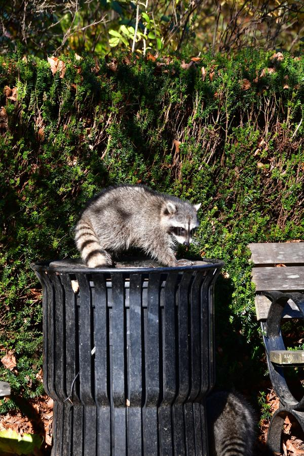 A racoon deftly making its way out of a trash can.  royalty free stock image