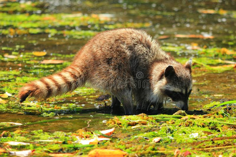 Raccoon, Procyon lotor, digging for Clams in Shallow Water at Princess Margaret Island, Gulf Islands National Park, B.C. stock images