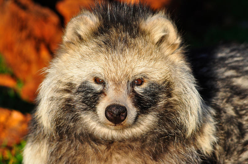 Racoon Dog. The racoon dog is also known as Magnut or Tanuki royalty free stock photo