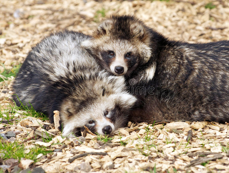 Racoon Dogs stock photos