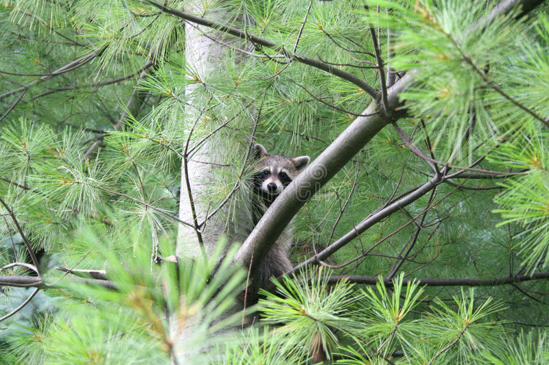 Racoon hiding in a pine tree