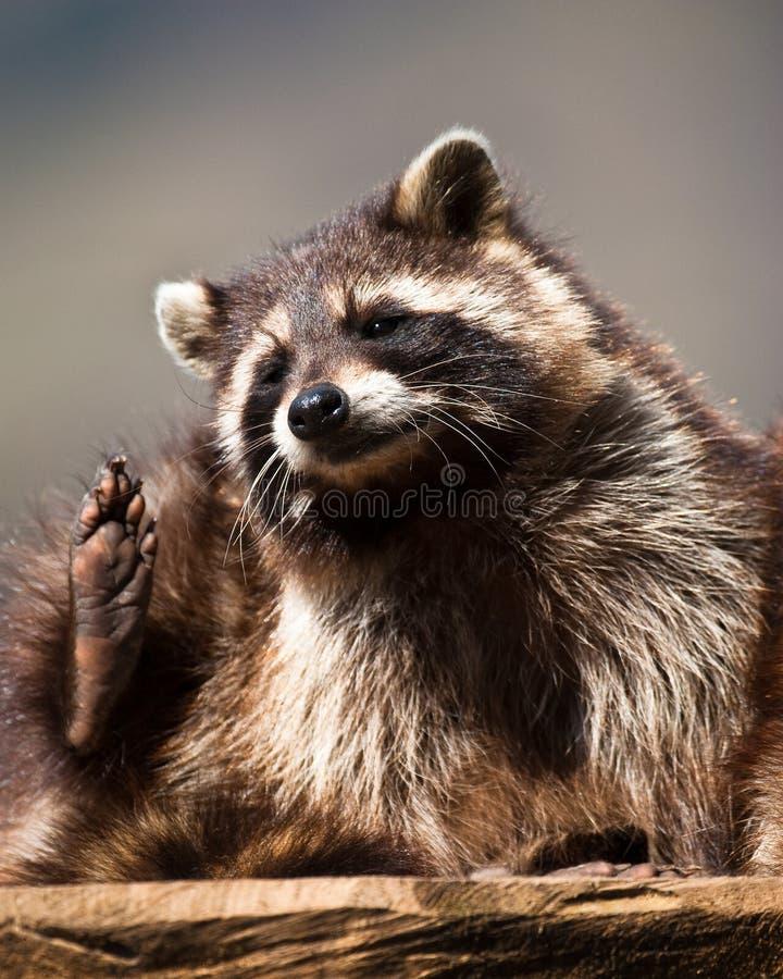 Racoon (lat. Lotor del Procyon) fotografia stock libera da diritti