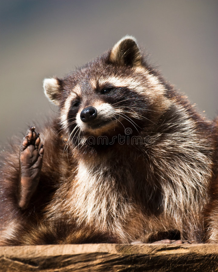 Racoon (lat. Procyon lotor) royalty free stock photography