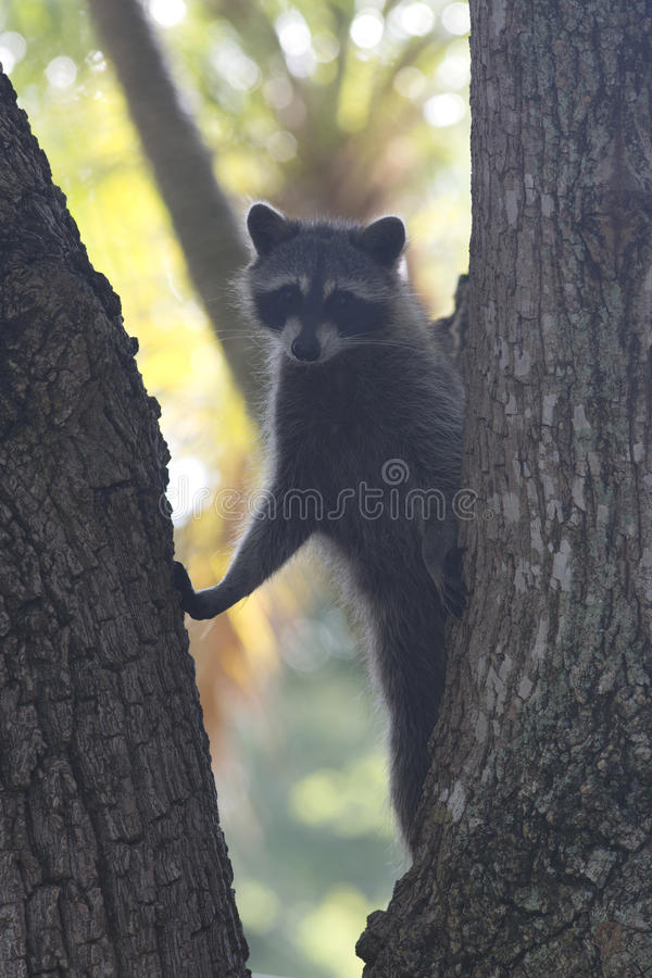 Racoon mammal in the wild Procyon lotor stock image