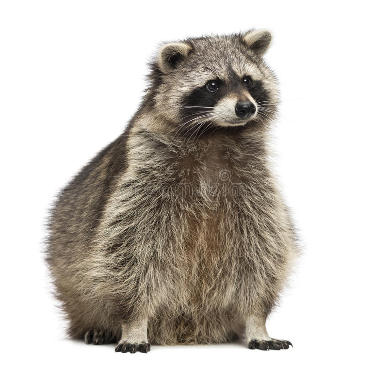 Racoon, Procyon Iotor, sitting, isolated. On white stock photography