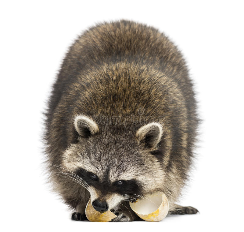 Racoon, Procyon Iotor, standing, eating an egg, isolate. D on white stock photos