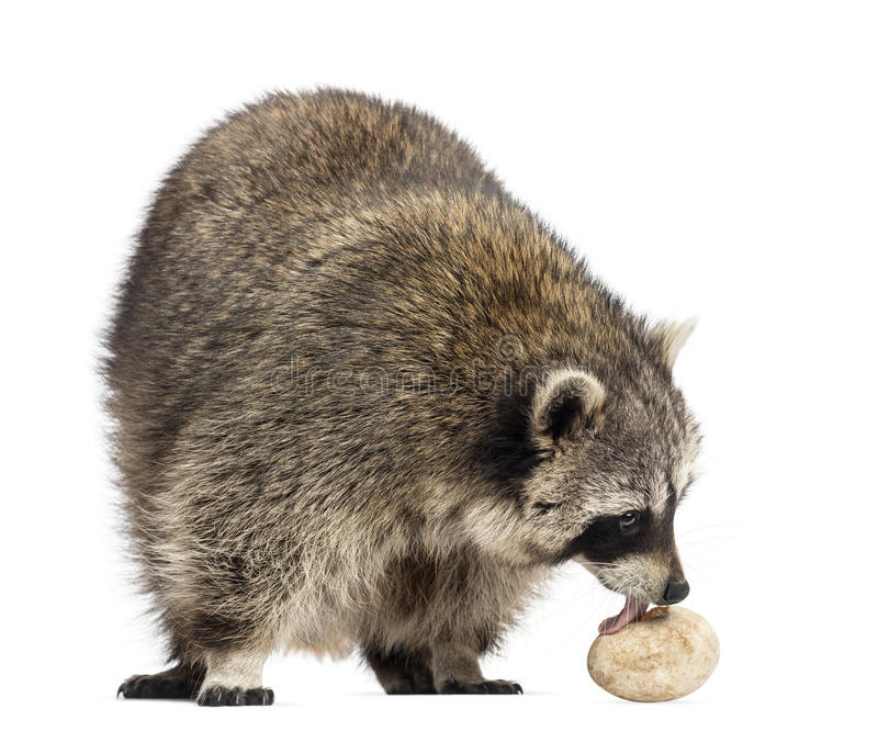 Racoon, Procyon Iotor, standing, eating an egg, isolated. On white stock photography