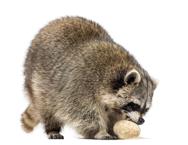 Racoon, Procyon Iotor, standing, eating an egg, isolated. On white royalty free stock photos