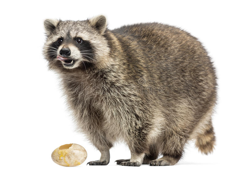 Racoon, Procyon Iotor, standing, eating an egg, isolated. On white royalty free stock images