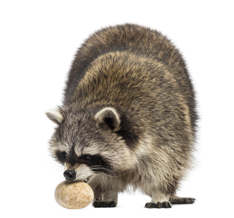 Racoon, Procyon Iotor, standing, eating an egg, isolated. On white stock images